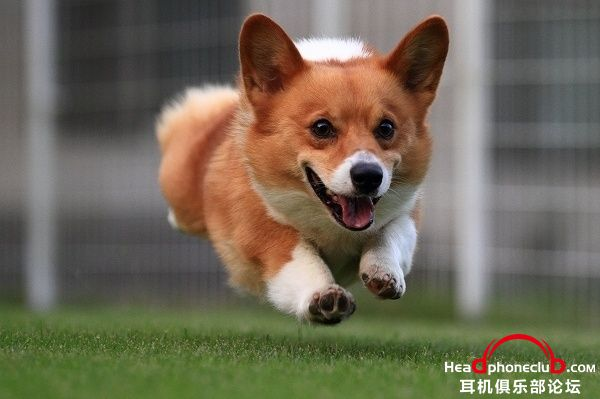 cute-running-jump-welsh-corgi.jpg